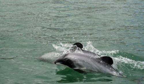 Maui's dolphins off the west coast of New Zealand's North Island on June 5, 2013