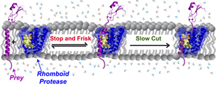 Membrane enzymes 'stop and frisk' proteins indiscriminately