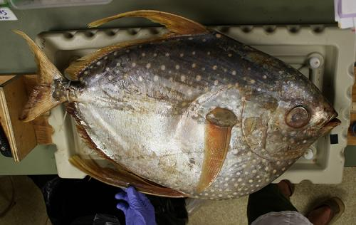 Mercury levels in Pacific fish likely to rise in coming decades