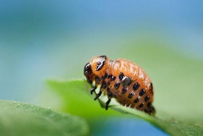 Microbes help beetles defeat plant defenses