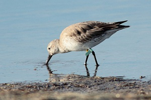 Migratory birds find Kimberley safe haven via China