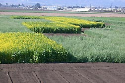 Mix-and-match cover cropping can optimize organic production