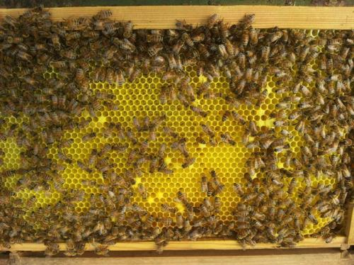 Model of dangerous bee disease in Jersey provides tool in fight against honeybee infections