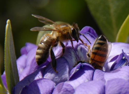 Molecular evolution of genetic sex-determination switch in honeybees