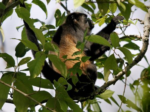 Mutations in the mantled howler provoked by disturbances in its habitat