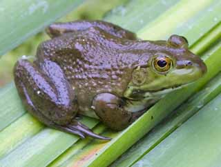 National survey finds frog abnormalities rare