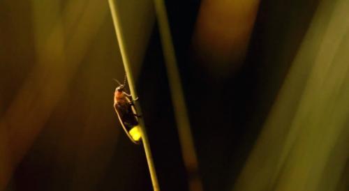 Nature's fireworks show: glowing fireflies lighting up Utah