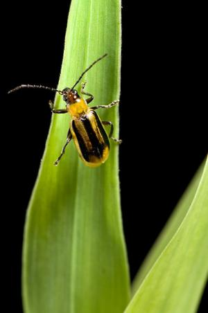 Nematodes encapsulated to better battle corn pests