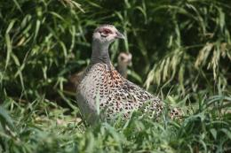Nesting habitat key to pheasant numbers