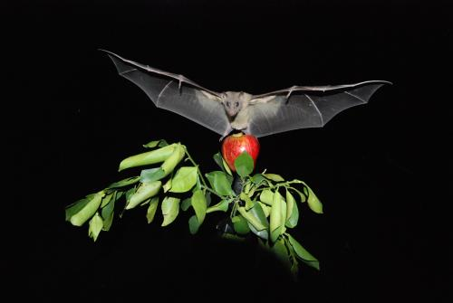 Neural activity in bats measured in-flight