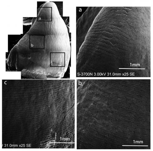 New advance on Crown Formation Time of Anterior Teeth of Fossil Orangutan from South China