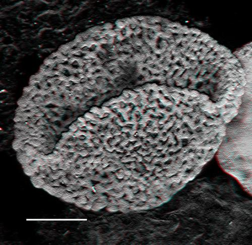 New fossils push the origin of flowering plants back by 100 million years to the early Triassic