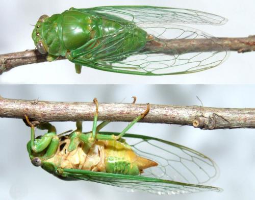 New info on an elusive green cicada