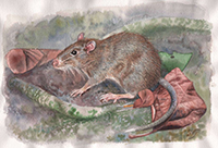 New rat genus discovered in the birthplace of the theory of evolution