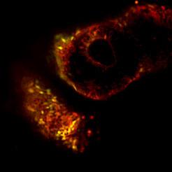New stem cells go back further