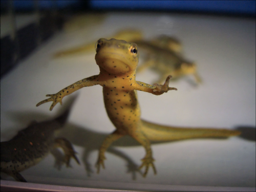 Newt transcriptome offers insight into tissue regeneration