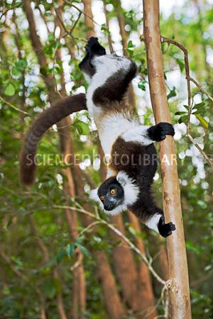 'Nursery nests' are better for survival of young black-and-white ruffed lemurs