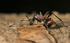 Oil palm plantations leave ants isolated