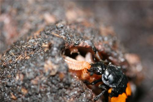 Older males make better fathers: Mature male beetles work harder, care less about female infidelity