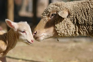 Omega-6 key to female lamb conception