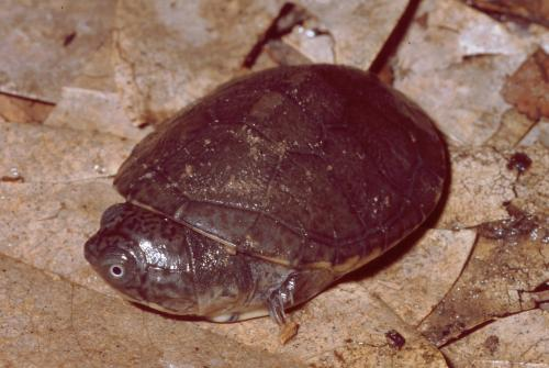 One extinct turtle less - Turtle species in the Seychelles never existed