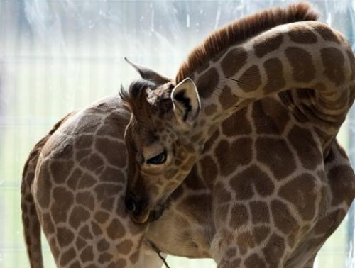 One-month-old Ugandan giraffe calf Eric scratches an itch in his enclosure at Berlin's Tierpark zoo on April 19, 2013