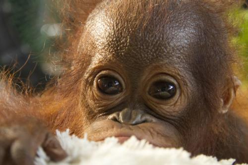 Orphan orangutans return to the wild