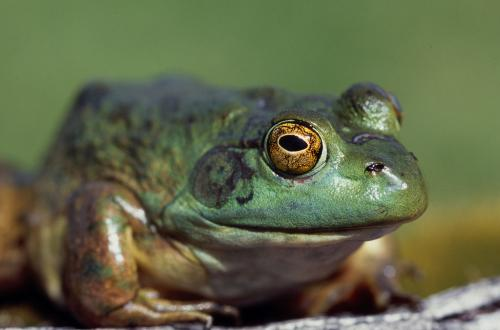 OSU review details negative impact of pesticides and fertilizers on amphibians