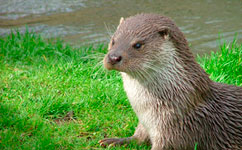 Otters show disease could be in our rivers