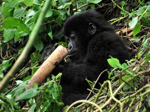 Out of Africa? New bamboo genera, mountain gorillas, and the origins of China's bamboos