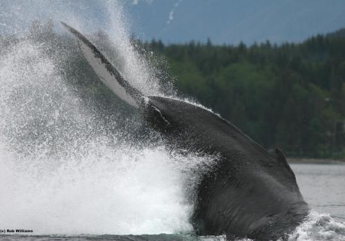 Pacific humpback whale abundance higher in British Columbia