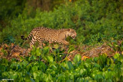 Panama and Panthera establish historic jaguar protection agreement