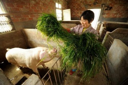 Pan Juying feeds grass to her pigs on her farm in Jiaxing in China's eastern Zhejiang province on March 14, 2013
