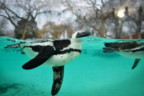 Penguins swim during the annual stocktake at ZSL London Zoo in central London on January 3, 2013
