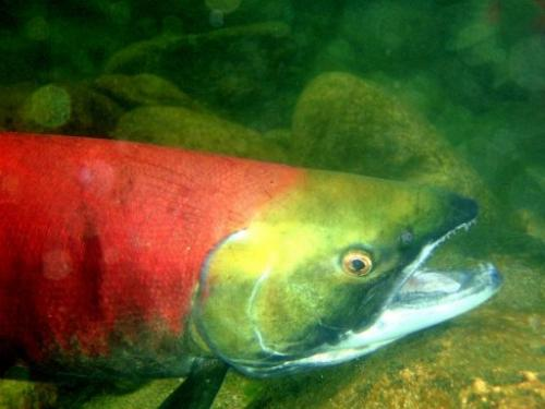 Photo illustration obtained January 13, 2011 shows a Fraser River sockeye salmon in the North Pacific Ocean.