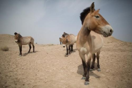 Przewalski's horses, seen at the West Lake national nature reserve in northwestern China, on May 13, 2013