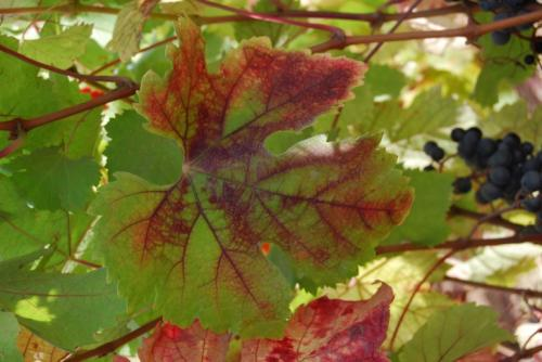 Protecting Aussie grapevines from new virus