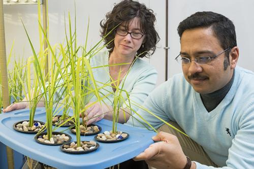 Reducing arsenic in food chain: Soil may harbor answer to reducing arsenic in rice