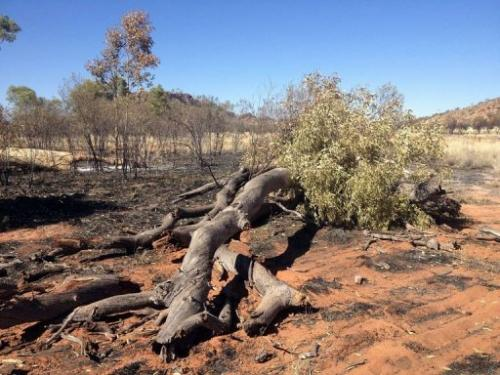 Remains of Ghost Gum trees, painted many times by the late Aboriginal artist Albert Namatjira, seen on January 3, 2013