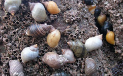 Research sheds new light on pollution and sex-change whelks