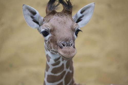 Reticulated giraffe calf born in captivity