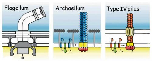 Revealing the secrets of motility in archaea