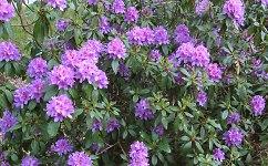 Rhododendron model illuminates tree disease threat