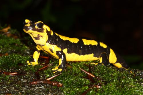 Salamanders under threat from deadly skin-eating fungus