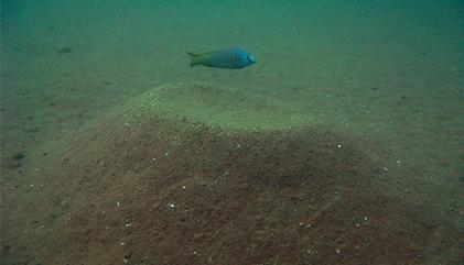 Sandcastle-building fish offer evolution clue