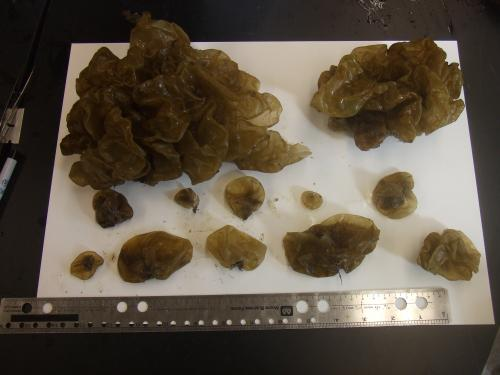 Scientists document first expansion of 'sea potato' seaweed into New England