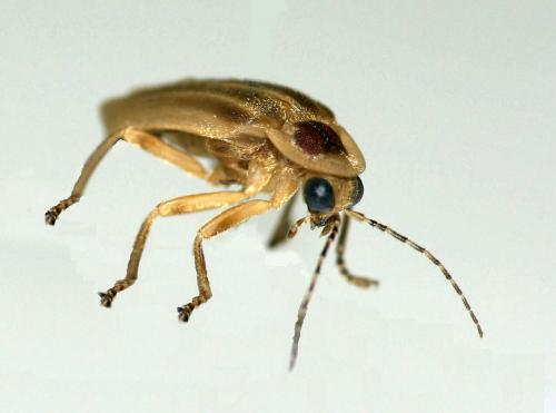 Scientists mimic fireflies to make brighter LEDs