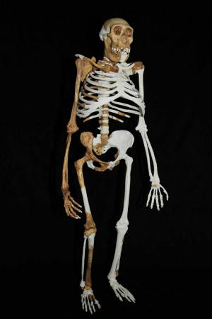Sediba's ribcage and feet were not suitable for running