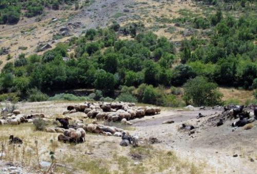 Sheep graze in the Halgurd-Sakran National Park, 170km northeast of the Iraqi city of Arbil, on September 1, 2013