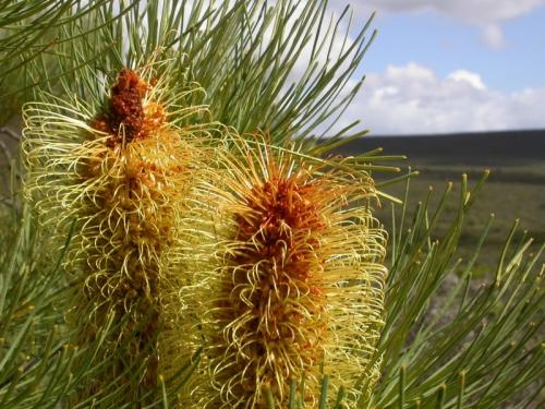 Silver Banksia plants excel at phosphate saving